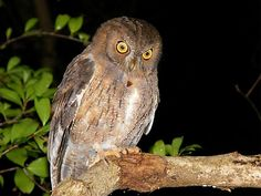 Madagascar Scops Owl (Otus rutilus) Photo by Robbie Labanowski Owl Species, Owl Bird, Cute Owl, Madagascar, Birds, The Incredibles, Animals, Art, Owls