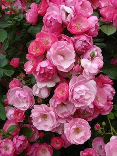 Rose 'Angela'