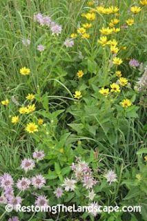 Wild Bergamot ~ Monarda fistulosa  Other Common Name: Wild Beebalm Wild bergamot is a great native perennial plant that thrives in full to part sun.