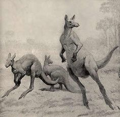 Giant Kangaroos, Procoptodon goliah, as large as 500 lbs once lived in Australia during the Pleistocene epoch as recently as 20,000 to 40,000 years ago before going extinct, possibly due to human influence.