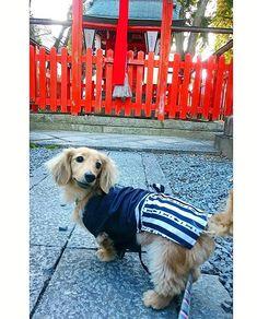 2018. 1. 2  #初詣 ✨🎍✨ 皆で お出かけ、嬉しいね 😊🎶 * #のんびりお正月 #新年 #神社 #ルル#ruru#ダックスフンド#ダックス#ミニチュアダックスフンド#チームOHKS#愛犬 #dachshund#dachs#miniaturedachshund#cutedog#wienerdog#sausagedog#dachshundlife#ilovemydog#total_dogs#picsofallanimals#inutokyo#west_dog_japan#petloverz1#bestfriends_dogs#lovedogs#dachshundlove#doglife#instadog