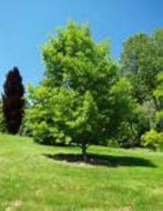 Genko - Maidenhair Tree