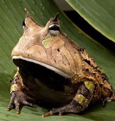Frog On The Rainforest , 6 Tropical Rainforest Animal Facts In Animal Category Rainforest Facts, Rainforest Animals, Amazon Rainforest, Rainforest Birds, Different Types Of Frogs, Pacman Frog, Geckos, Frog Species, Frog Wallpaper
