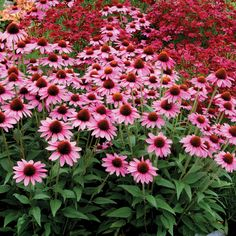 Enjoy a dream of pink with this tough yet alluring coneflower that draws in butterflies and human admirers with its bright floral display, attractive foliage and appealing scent. Landscaping Plants, Fruit Trees, Garden Design, Bloom, Landscape, Amazing, Flowers, Beautiful, Board