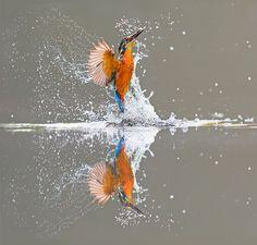 Зимородок ловит рыбу в Дамфрисе, Шотландия