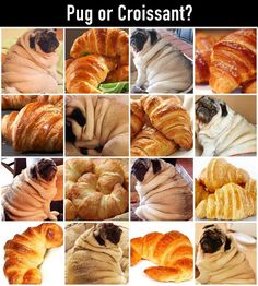 My pug dog is pretty round but she doesn't have croissant wrinkles! Lol!