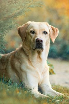 Labrador retriever dog lying under a tree in the rain Perro Labrador Golden, Perro Labrador Retriever, Cute Labrador Puppies, Rottweiler Puppies, Golden Retriever, Retriever Puppy, Cute Dogs And Puppies, Black Labrador, Lab Puppies
