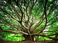 The banyan tree has become a common feature of Hawaii's landscape, however, it's not native to the islands. Maui: The First Banyan Tree in Hawaii The first banyan tree inHawaii was planted on Maui in April, 1873 (now the famous Lahaina Banyan). The banyan is native to India, and the Lahaina Banyan was presented to Maui Sherriff William Owen Smith by missionaries from India. He planted it to commemorate the 50th anniversary of the first Protestant mission to Lahaina. The Lahaina Banyan is…