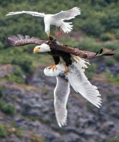 They ain't no 'amigos' - no way! Bald Eagle, Eagles, Eagle