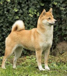 Shiba Inu Shibu Inu, Chien Shiba Inu, Cute Puppies, Cute Dogs, Siberian Husky Puppies, Siberian Huskies, Akita Dog, Baby Dogs, Doggies