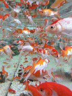21 Best Aquascaping Design Ideas to Decor Your Aquarium - Tips Inside - homelovers - fresh water fish tank Aquascaping, Aesthetic Photo, Aesthetic Pictures, Japanese Goldfish, Carpe Koi, Orange Aesthetic, Montage Photo, Beautiful Fish, Beautiful Pictures