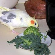 Cockatiels, Healthy and Nutritious Safe Foods, Safe Fruits, Safe Fruits, Safe Vegetables, Safe Table foods for Cockatiels and Pet Birds. Lis...
