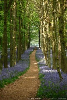 Woodland path in bluebell wood, England, UK