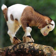 Baby Goat ~ Country Living