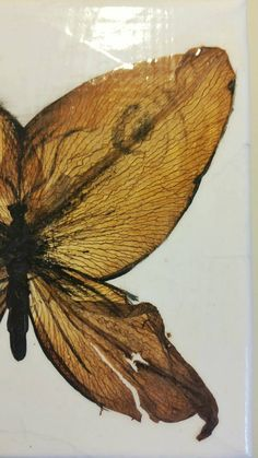 This canvas features one Moth creature made of pressed petals and acrylic black paint. The petals are from LA lilies and Xmas lilies. This is finished with clear varnish to seal and preserve the flowers. Canvas size approx: x Pressed Flower Art, Lilies, Preserve, Canvas Size, Moth, Seal, Creatures, Flowers, Painting