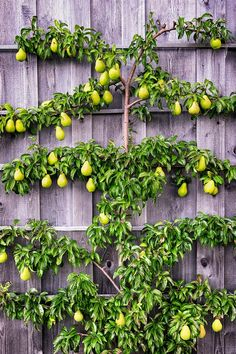 Art of Espalier: Growing Fruit Trees in Small Spaces - Garden Therapy® Espalier fruit trees - how to grow lots of fruit in a small spaceEspalier fruit trees - how to grow lots of fruit in a small space Small Space Gardening, Small Gardens, Gardening Tips, Organic Gardening, Vegetable Gardening, Veggie Gardens, Vertical Gardens, Container Gardening, Growing Fruit Trees