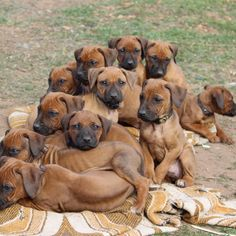 Puppies how many is too many? I Love Dogs, Cute Dogs, Cute Puppies, Lion Dog, Dog Cat, Beautiful Dogs, Animals Beautiful, Rhodesian Ridgeback Puppies, Vizsla