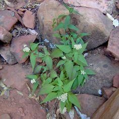 Ageratina paupercula.Santa Rita Snakeroot. Native herbaceous perennial. Pollinator source. Grows in forests 3-5000 ft. Regular water. Part shade.