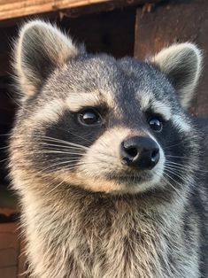 Your daily dose of raccoon — said: D. coming out of the barn for his. Rare Animals, Cute Baby Animals, Animals And Pets, Strange Animals, Animals Beautiful, Beautiful Creatures, Pet Raccoon, Pet Rats, Woodland Creatures