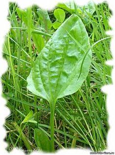 рецепт сиропа из подорожника. Делается это так: Свежесрезанные промытые листья подорожника мелко нарезают, или пропускают через мясорубку, кладут в чистую трёхлитровую банку слоями примерно по 3-5 см. Каждый слой и обязательно верхний посыпают меньшим слоем сахара. Herbs For Health, Small Farm, Balcony Garden, Alternative Medicine, Herbal Medicine, Vines, Herbalism, Plant Leaves, Health Fitness