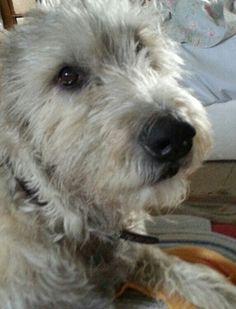 Doogan. Irish Wolfhound Puppies, Irish Wolfhounds, Glen Of Imaal Terrier, Fox Terrier, Beautiful Dogs, Animals Beautiful, Amazing Dogs, Bedlington Whippet, Irish Dog Breeds
