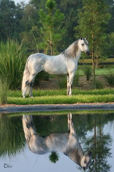 Reflection - The Paso Fino Horse Breed Profile -  from Equitrekking