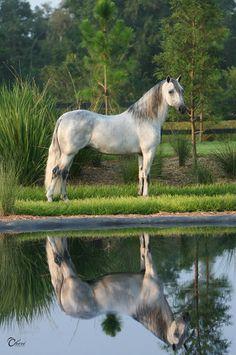 Paso Fino Horse reflection - The Paso Fino Horse Breed Profile - Equitrekking