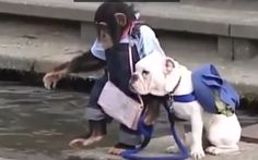 Amazing animal video- Chimpanzee training a dog to become brave, video gone viral. Video Go, Chimpanzee, Trending Videos, Dog Walking, Viral Videos, Funny Dogs, Brave, French Bulldog, Pitbulls