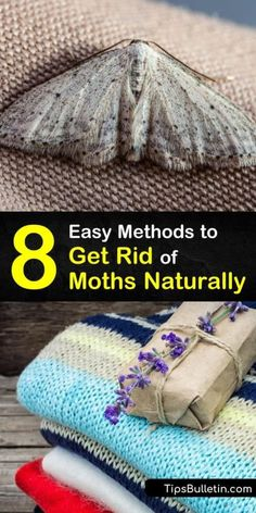 Learn how to eliminate a moth infestation in your closet or pantry. Store clothing in airtight containers to protect it from moth eggs. Use a natural form of pest control on moths hiding in crevices with a moth repellent made of herbs or essential oils. #moths #getridofmoths Getting Rid Of Moths, Moth Repellent, Natural Moth Repellant, Pantry Moths, Drying Mint Leaves, Organic Gardening Tips, Organic Farming, Cedar Oil, Urine Smells