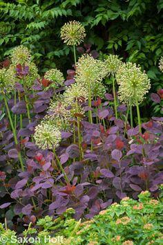 Allium seed heads among purple smokebush - great contrast Rock Plants, Garden Plants, Little Gardens, Back Gardens, Landscape Design, Garden Design, Beautiful Flowers Images, Xeriscaping, Purple Garden
