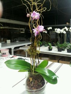 orchid plant centerpiece, planted in a Glass bowl with sheet moss, and curly willow