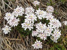 Schleifenblumen – Wikipedia
