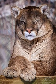 Big cougar be chillin'
