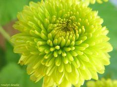 light yellow green chrysanthemum - Google Search