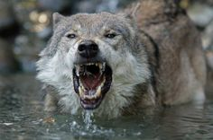 images of angry animals   Angry - water, nature, angry, animals, Wolf