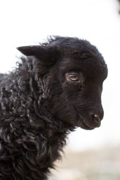 Tägliche Dosis - August 2016 - Baa Baa Black Sheep 2016 © Barbara O & Brien Pho . Black Animals, Farm Animals, Animals And Pets, Cute Animals, Wild Animals, Beautiful Creatures, Animals Beautiful, Baa Baa Black Sheep, Photo Animaliere