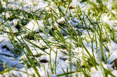 Snö på ängsgräs.