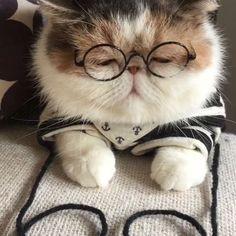 Gato triste, gatito triste, gato intelectual/ gato con gafas / gato exótico - Belezza,animales , salud animal y mas Cute Cats And Kittens, Baby Cats, I Love Cats, Cool Cats, Kittens Cutest, Cute Funny Animals, Cute Baby Animals, Funny Animal Pictures, Gatos Cool