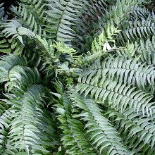 Fortune's Holly Fern for sale buy Cyrtomium fortunei 'Ulleung Island'
