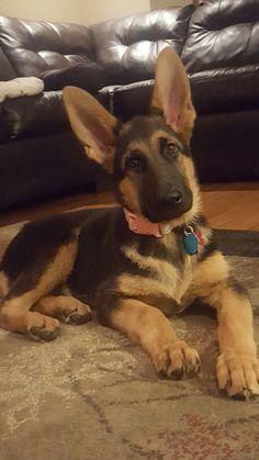 German Shepherds Those Ears!!