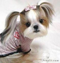 7 Popular Shih Tzu Haircuts - Page 2 of 3 - ShihTzu Wire Chien Shih Tzu, Shih Tzu Puppy, Cute Puppies, Cute Dogs, Dogs And Puppies, Doggies, Best Puppies, Shih Tzus, Baby Animals