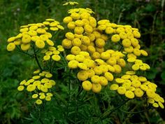 In order to attract helpful bugs, you need to add certain plants from the list below to your garden or farm to encourage biodiversity and a healthy Lantana Camara, Achillea Millefolium, Flower Close Up, Vertical Farming, Herbaceous Perennials, Leaf Coloring, Dry Leaf, How To Make Tea, Growing Herbs