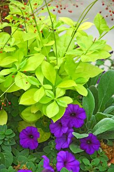 Flower Garden Image 0 of Jewels of Opar ''Limon'', Limon Talinum (Talinum Paniculatum) Seeds - Jewels of Opar ''Limon'', Limon Talinum (Talinum Paniculatum) Seeds Flowers That Like Shade, Shade Flowers, Shade Plants, Shade Garden, Garden Plants, Patio Plants, Shade Perennials, My Secret Garden, Lawn And Garden