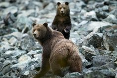 Tweedsmuir Park Lodge - Close Encounters with Bella Coola's Famous Grizzlies | Canada's Official Tourism Website