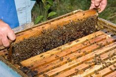 apicultura                                                                                                                                                      Mais