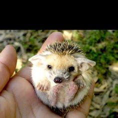 Baby hedgehog! Too cute!
