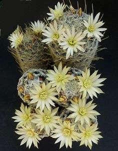 Mammillaria duwei - Fique a conhecer as nossas dicas de jardinagem em: www.asenhoradomonte.com