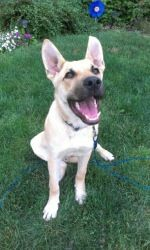"""""""HOBBES"""">>>BETHEL PARK, PA>>>Hobbes is an adoptable Labrador Retriever Dog in Bethel Park, PA. Meet Hobbes! He is a fun loving submissive male. He's around 9 months old & weighs 45 pounds.In true Lab fashion he loves everyone he ..."""