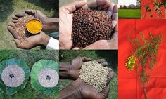 Validated and Potential Medicinal Rice Formulations for High Blood Pressure (Hypertension) with Diabetes mellitus Type 2 (डायबीटीज या मधुमेह) Complications (TH Group-356 special) from Pankaj Oudhia's Medicinal Plant Database