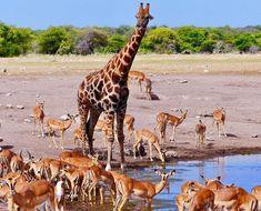 Reise nach Namibia - Genießen Sie 25 € bei Airbnb kostenlos, Link im Profil Namibia, Giraffe, Camel, Link, Animals, Profile, Travel, Animais, Animales